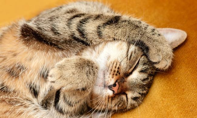 猫の癒し効果がすごい! ゴロゴロ音を聞くと自然治癒力がアップ