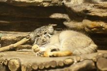 東京都・上野動物園にいるマヌルネコが可愛すぎる……!