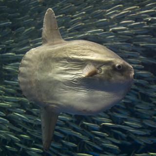 「ジャンプして着水するとマンボウは死ぬ」って本当!? 水族館に聞いてみた