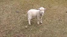 帰り道、めーめー言いながら追いかけてきた赤ちゃん羊が可愛すぎる!