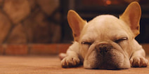 愛犬の「免疫介在性溶血性貧血(IMHA)」ってどんな病気?