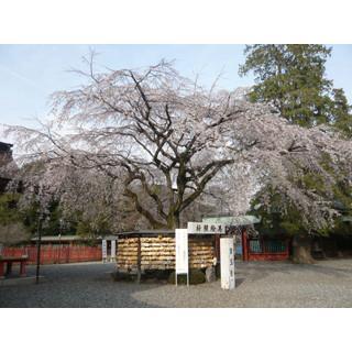 行った気になる世界遺産 (36) 桜にちなんだ女神様がいる世界遺産の神社をご存知?