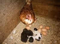 鶏舎に産み落とされた子猫3匹をニワトリが暖めて育てる珍事 後日親猫が引き取りに