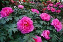 牡丹3万輪咲き誇る松江・由志園! 「極楽浄土かな...?」危うく成仏しそうになる美しさ
