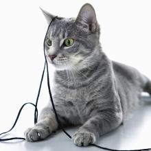なぜ大人になると猫じゃらしでジャレないの?獣医に聞いてみた