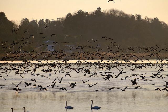 渡り鳥の季節!今年も「マガン」がやってきた