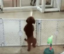 【動画】新しいダンス!? ご主人様を待つワンちゃんの動きが可愛すぎる!