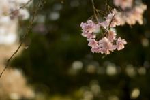 【東京】都内のオススメお花見スポット④~女友達と、シャンパン片手に夜桜散歩をするならココ!