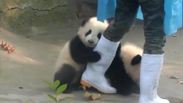 かわいいパンダの動画だけずっと見られるサイト「iPanda」―恐るべき愛くるしさ