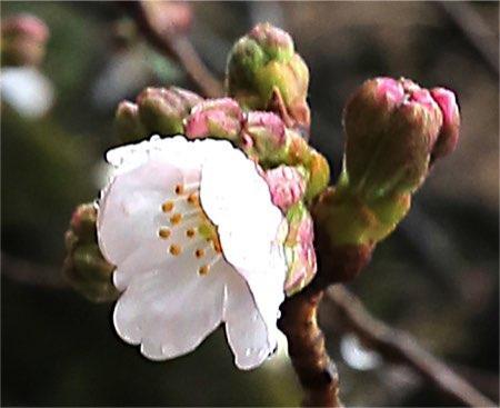 東京で桜が開花