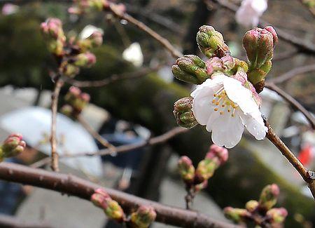 東京で桜開花=全国で最も早く-気象庁