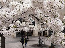 ドイツで桜満開