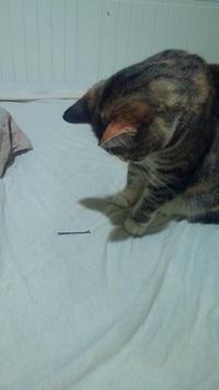 「浮気してたなんて……」 飼い主の恋人が残したヘアピンを発見して立ち尽くす猫の画像が話題に