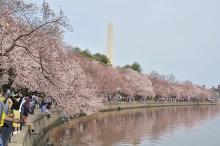 ワシントンの桜、見頃に=春の風物詩、大勢を魅了-米
