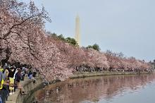 ワシントンの桜、見頃に