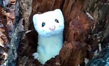 【動画】ひょっこりでてきて「こんにちは…!」ちょっと恥ずかしがり屋のオコジョさん