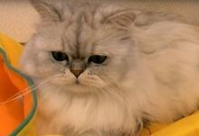 【動画】「こ、これでも食らえ!! …チョイチョイ」ゆる~い猫パンチが可愛すぎる!!