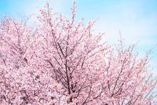 「塩漬けや餅以外ないの?」→桜の食べ方を調べてみると…