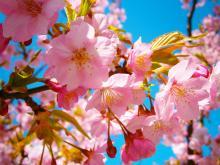 春限定! ほんのりピンクな「桜ごはん」レシピ