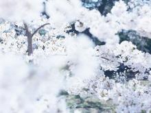 「自然の中でも桜は特別」と写真家が想う理由とは?