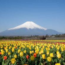 山中湖村「花の都公園」では17万本のチューリップが見ごろに