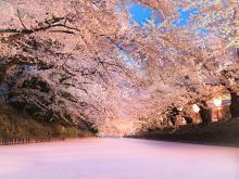 【桜に墨汁!?】桜の健康を守る「桜守」の仕事とは?