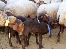 羊プラセンタの特徴と効果
