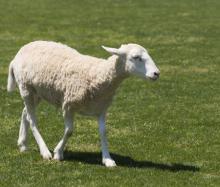 日本では珍しい「鹿・羊プラセンタ」サプリの具体的な効果や副作用