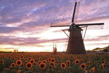 約2万本のゴッホ!オランダ風車をバックに咲く「ひまわりガーデン」佐倉で開催