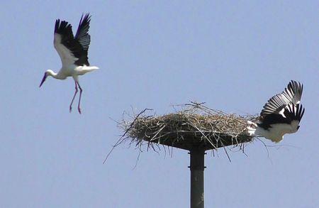野外コウノトリ100羽に=放鳥12年、46都道府県に飛来
