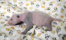 パンダ赤ちゃんは雌=健康良好、体重は倍に-上野動物園
