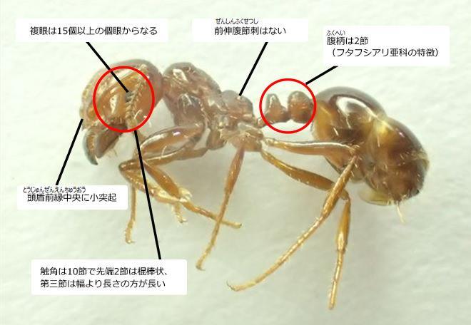 危険な「ヒアリ」、ほかのアリとどう違う?―東京都が見分け方を公開