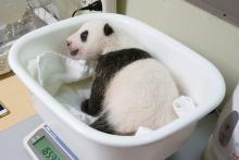 赤ちゃんパンダ、うっすら両目開く=上野動物園が写真公開