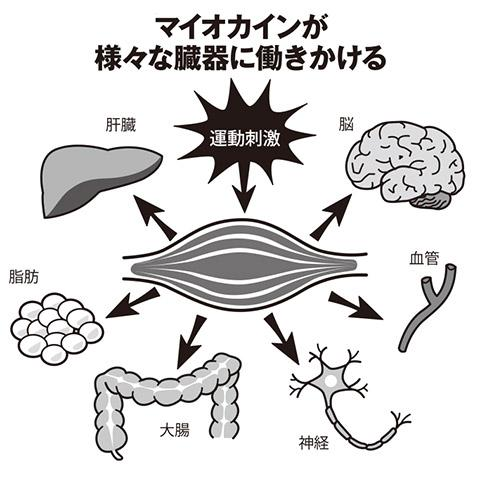 「筋肉」が病魔と戦う? 運動で分泌される「マイオカイン」驚きの効能
