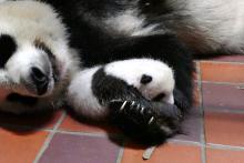上野動物園、赤ちゃんパンダの名前募集―公式サイトから応募可能に
