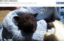 コウモリは怖くない? バナナをむしゃむしゃ食べる姿がキュート