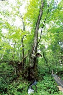 【涼絶景】樹齢1000年以上の巨木と湧き水!生命力を感じる森で涼さんぽ