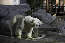 動物のレアな姿が見られる、旭山動物園・開園50周年版「夜の動物園」開催中!
