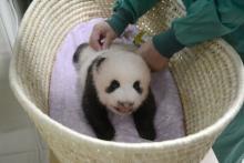 パンダの赤ちゃん、名前の公募に32万件超え