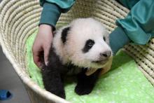 お目々が見える?=赤ちゃんパンダすくすく-上野動物園