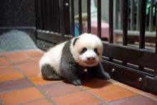 上野動物園の赤ちゃんパンダ、足ふんばり前進も